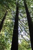 Hohe Mammutbäume Stockbild