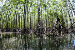 Hohe Mangroven-Bäume lizenzfreies stockbild