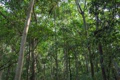 Hohe Mangrovenbäume im Mangrovenwald, wie in der Lekki-Erhaltungs-Mitte in Lekki, Lagos Nigeria gesehen stockbilder