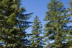 Hohe Nadelbäume Stockfotos