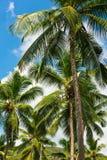 Hohe Palmen auf einem tropischen Strand Stockfotos