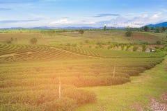 Hohe Plantage des grünen Tees des Landes über Landsteigung Stockfotos