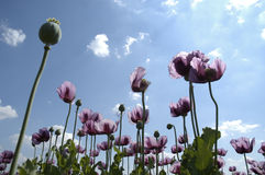 Hohe purpurrote Blumen Lizenzfreie Stockfotografie