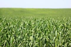 Hohe Rasenfläche. flacher DOF Lizenzfreies Stockbild