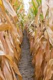 Hohe Reihen des goldenen Mais pirscht bereites zur Ernte an, die eine Erzählung bildet stockfoto