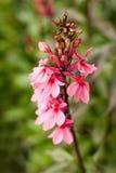 Hohe rosafarbene Blume im Garten Stockbild