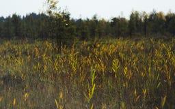 Hohe Schilfe, Gras und Katzeendstücke eines überwucherten Sumpfes lizenzfreie stockbilder