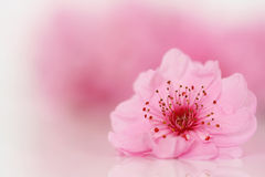 Hohe Schlüsselkirschblumennahaufnahme Stockbilder