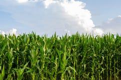 Hohe Stiele von Mais auf einem Gebiet Lizenzfreie Stockbilder