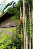 Hohe, tropische Bäume mit den großen Blättern, die am alten, hölzernen Gebäude sich lehnen Lizenzfreie Stockfotos