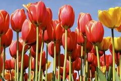 Hohe Tulpen stockbild