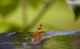 Hohe und makro rote Ameise eines Abschlusses mit Naturhintergrund Lizenzfreie Stockbilder