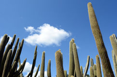 Hohe unverzweigte Säulengewohnheit Cephalocereus Stockfotografie