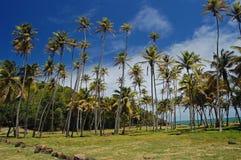 Hohe wachsende Palmen im Garten auf Bequia Lizenzfreies Stockfoto