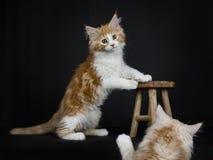 Hohe weiße Maine Coon-Katze/-kätzchen der roten getigerten Katze Stockfotografie