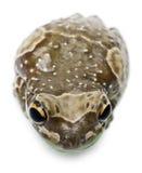 Hohe Winkelsicht des Amazonas-Milch-Frosches stockbilder