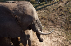 Hohe Winkelsicht des Elefanten lizenzfreie stockfotografie