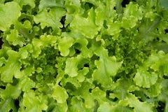 Hohe Winkelsicht des frischen organischen Mischkopfsalates Stockbild