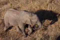 Hohe Winkelsicht des Schätzchenelefanten Stockbilder