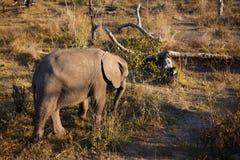 Hohe Winkelsicht des Schätzchenelefanten stockfoto