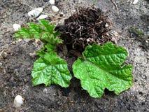 Hohe Winkelsicht einer Jungpflanze von Gunnera-manicata Stockfotografie
