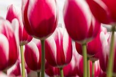 Hohe 'Yolly' Tulpen Triumphs Lizenzfreie Stockbilder