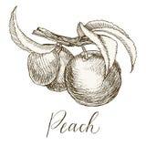 In hohem Grade ausführliche Hand gezeichneter Pfirsich Stockfotos