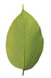 In hohem Grade ausführliches Makrofoto des gesunden grünen Blattes Stockfotos