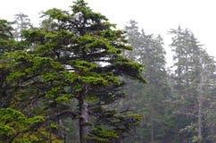 Hoher Baum auf Vancouver Island lizenzfreies stockbild