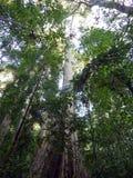 Hoher Baum im Regenwald Stockfoto