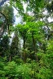 Hoher Baum in Washington State Stockfoto