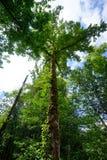 Hoher Baum in Washington State Lizenzfreie Stockfotos