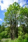 Hoher Baum in Washington State Lizenzfreie Stockbilder