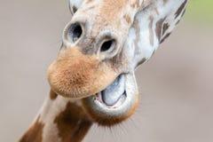 Hoher der Giraffe naher, selektiver Fokus Stockbild