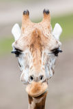 Hoher der Giraffe naher, selektiver Fokus Lizenzfreie Stockfotografie