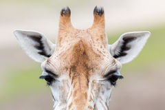 Hoher der Giraffe naher, selektiver Fokus Lizenzfreie Stockfotos