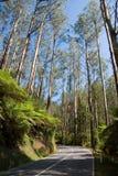 Hoher Eukalyptus-Regenwald entlang Straße Lizenzfreie Stockfotos