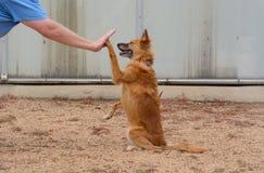 Hoher fünf Hundetrick stockbilder