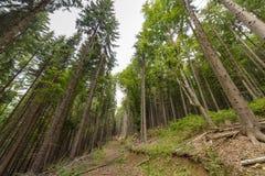 Hoher gezierter Wald stockfotografie