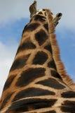 Hoher Giraffestutzen Stockfoto