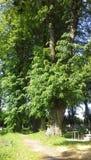 Hoher grüner Baum im Kirchhof Stockbild