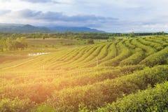 Hoher Hügel des Feldes des grünen Tees mit Gebirgshintergrund Stockfoto