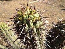 Hoher Kaktus Stockfotografie