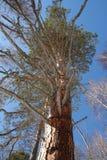 Hoher Koniferenbaum mit großen ausgebreiteten Niederlassungen Stockfotografie