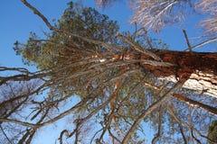 Hoher Koniferenbaum mit großen ausgebreiteten Niederlassungen Lizenzfreie Stockfotografie