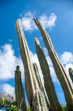 Hoher Orgelpfeifenkaktus auf Aruba Stockfotografie