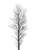 Hoher Pappelbaum lokalisiert auf Weiß Lizenzfreies Stockbild