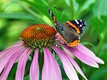 Hoher Park-roter Admiral Butterfly Torontos auf einer Blume 2017 Stockfotos