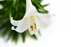 Hoher Schlüssel der Patience der weißen Lilie Lizenzfreies Stockbild