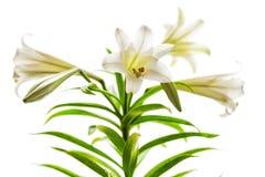 Hoher Schlüssel der weißen Lilien Lizenzfreies Stockfoto